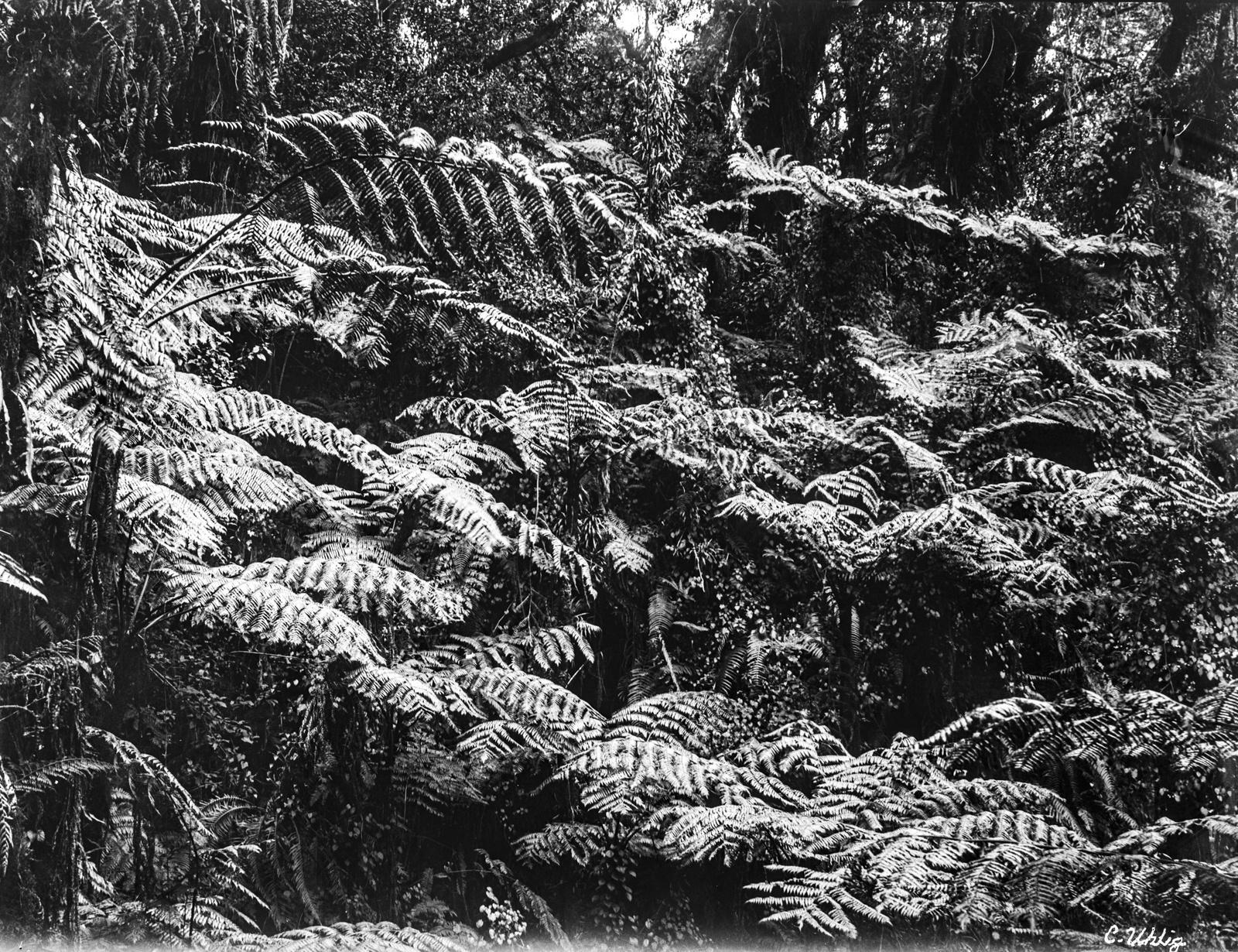 149. Первобытный лес с папоротниками на горе Килиманджаро