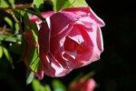 Lijiang Rose (hybride de gigantea)1.jpg