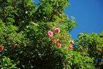 Lijiang Rose (hybride de gigantea)5.jpg