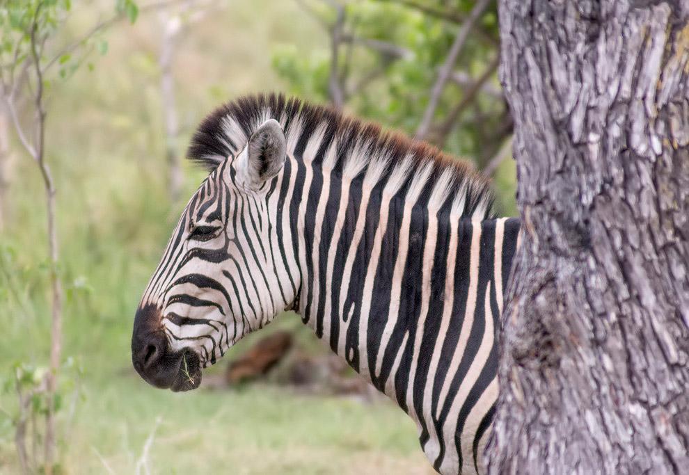 44. Самец антилопы гну.