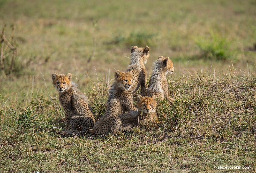 5 маленьких гепардов из Масаи-Мара