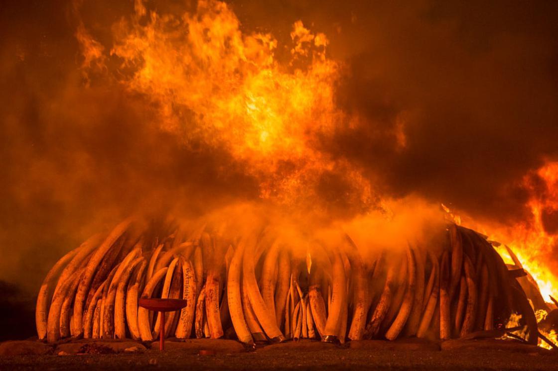 On 30 April 2016, Kenya staged its biggest ever ivory burn – 105 tonnes at Nairobi national park. Ph