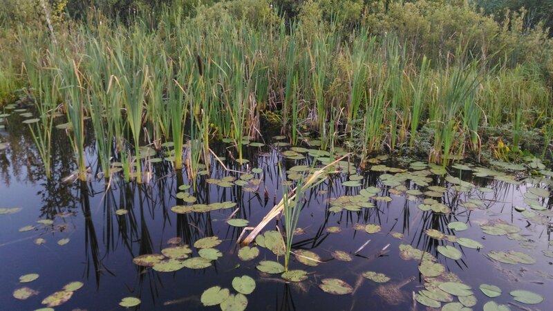 Заболоченный берег, Пчелинское озеро