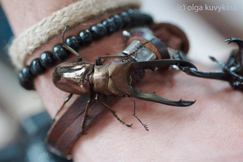 Жук-олень южноазиатский Cyclommatus metallifer