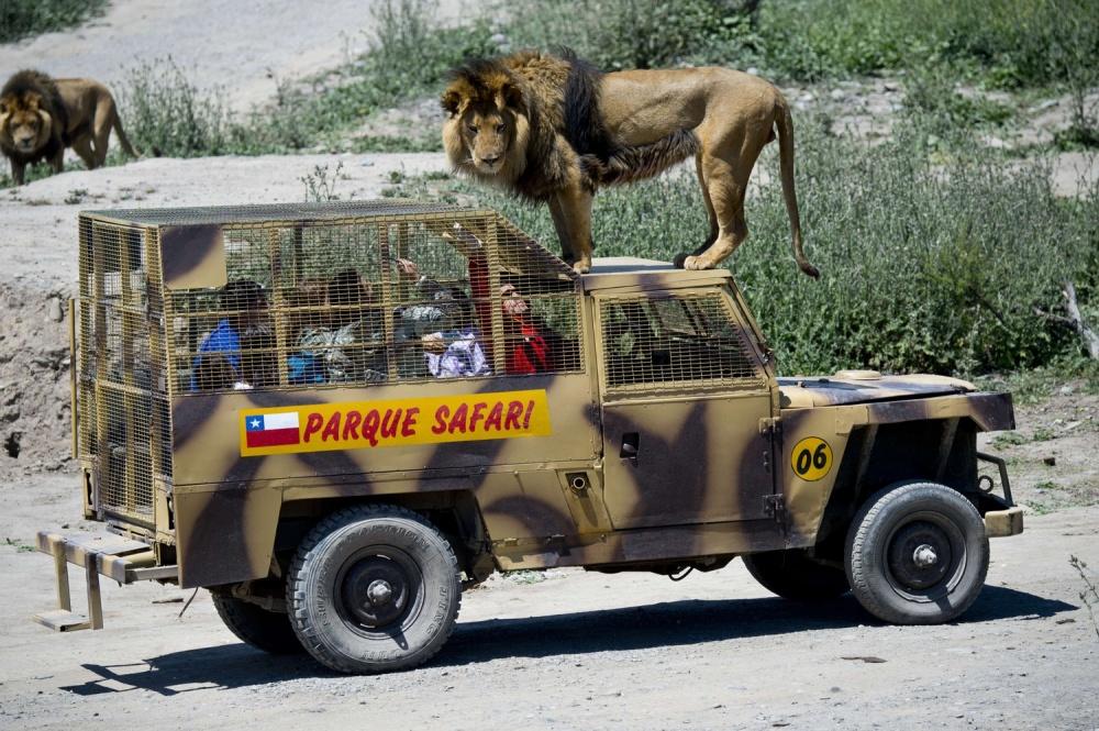 © AFP PHOTO/MARTIN BERNETTI/EAST NEWS     Привлечь внимание диких кошек может только свеж