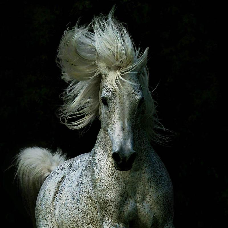 24. В 80-ые годы арабские лошади стали популярным символом статуса, и их продавали как произведения