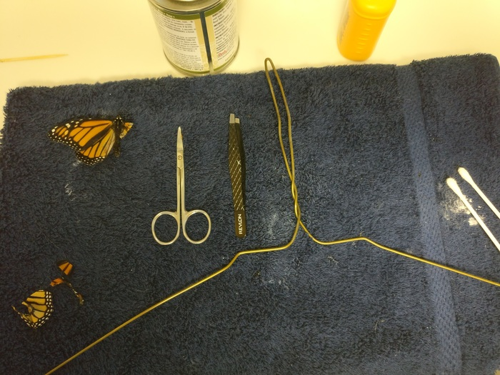 Фиксируем бабочку и отрезаем поврежденные части. Не беспокойтесь, ей не больно, это как состригать н