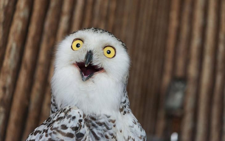 Супер совы (27 фото)