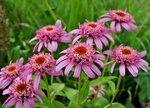 "Эхинацея пурпурная / Echinacea purpurea ""Pink Double Delight"""