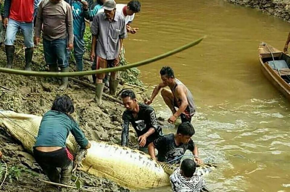 Пропавшего жителя острова Борнео нашли внутри крокодила-людоеда