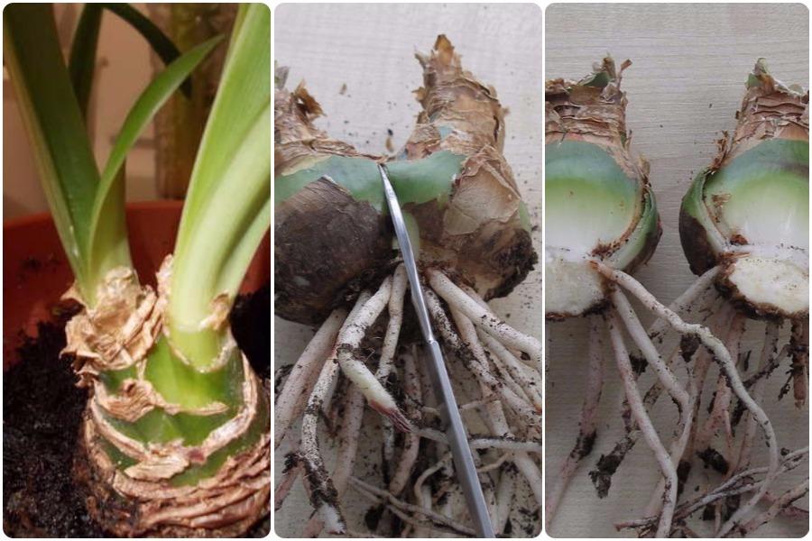 Гиппеаструм: размножение, болезни, отличие от амариллиса - размножение делением луковицы