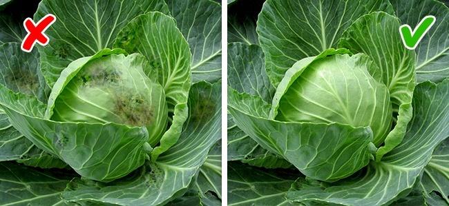 © pixabay  © pixabay     Определить капусту, вкоторой нет пестицидов, довольно про