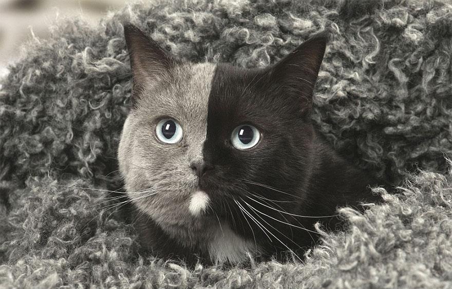Единственная в мире кошка с двойным лицом