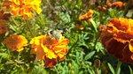 сентябрь и пчелка и солнце