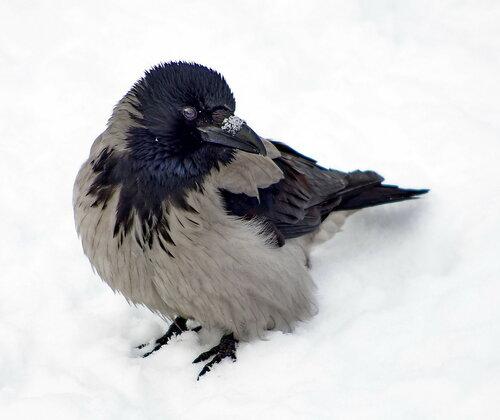 Зимняя ворона