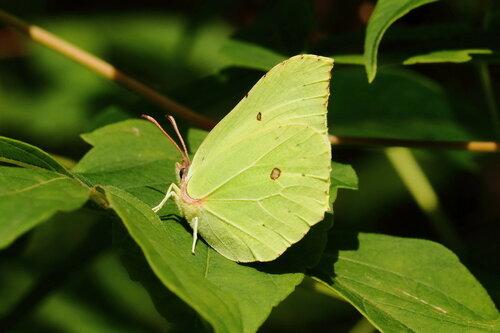 Крушинница или Лимонница (Gonopteryx rhamni)