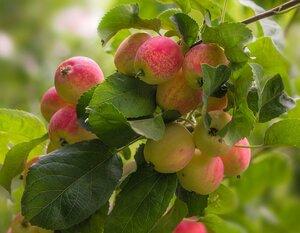 Солнечные яблочки