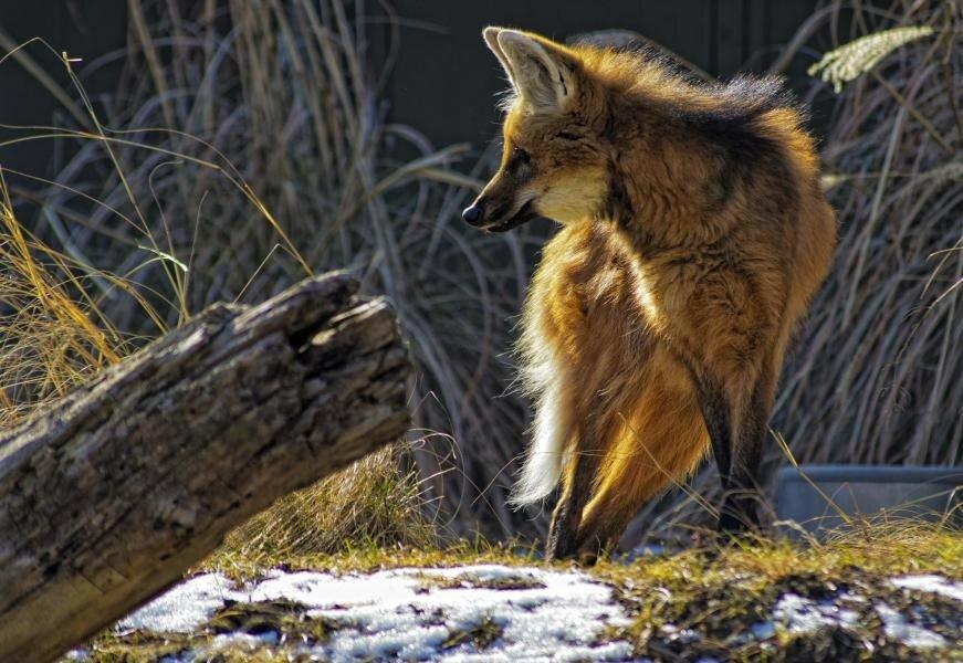 Chrysocyon-Гривистый волк by B. Gohacki.jpg