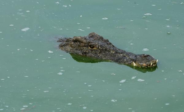 Крокодил утащил под воду шамана, искавшего человека