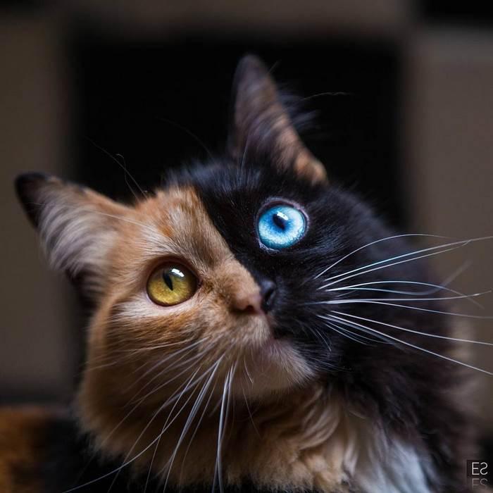Венус: двуликая кошка-химера с разноцветными глазами (17 фото)