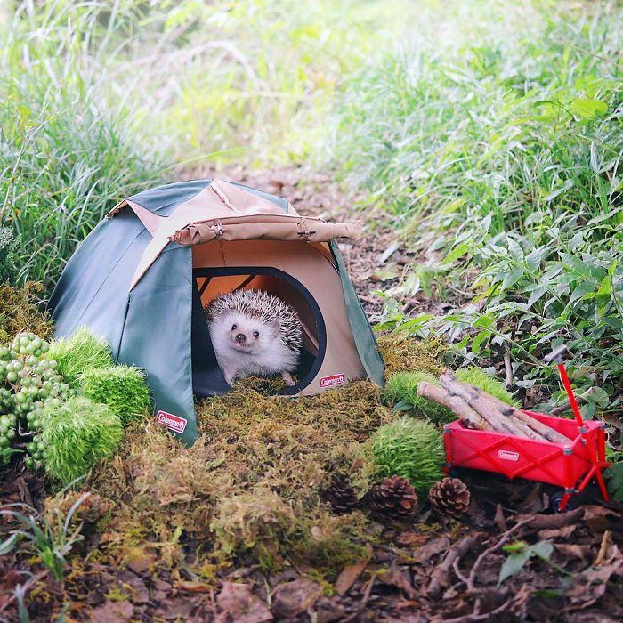 Азуки — крошечный еж-путешественник из Японии (8 фото)