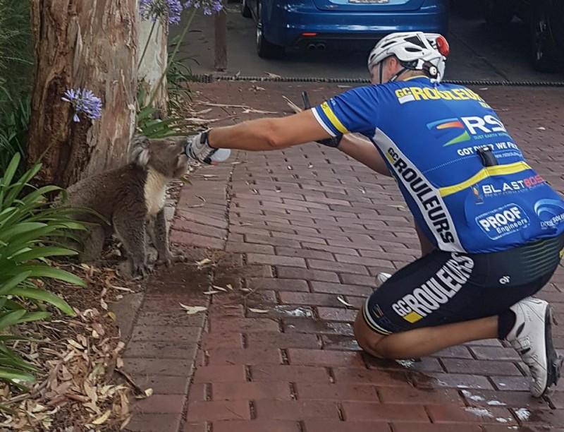 Велосипедист отдал страдающей от жажды коале последнюю бутылку воды и снял это на видео (1 фото)