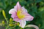Розовый лилейник