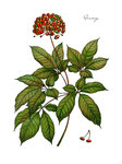 Ginseng watercolor botanical illustration
