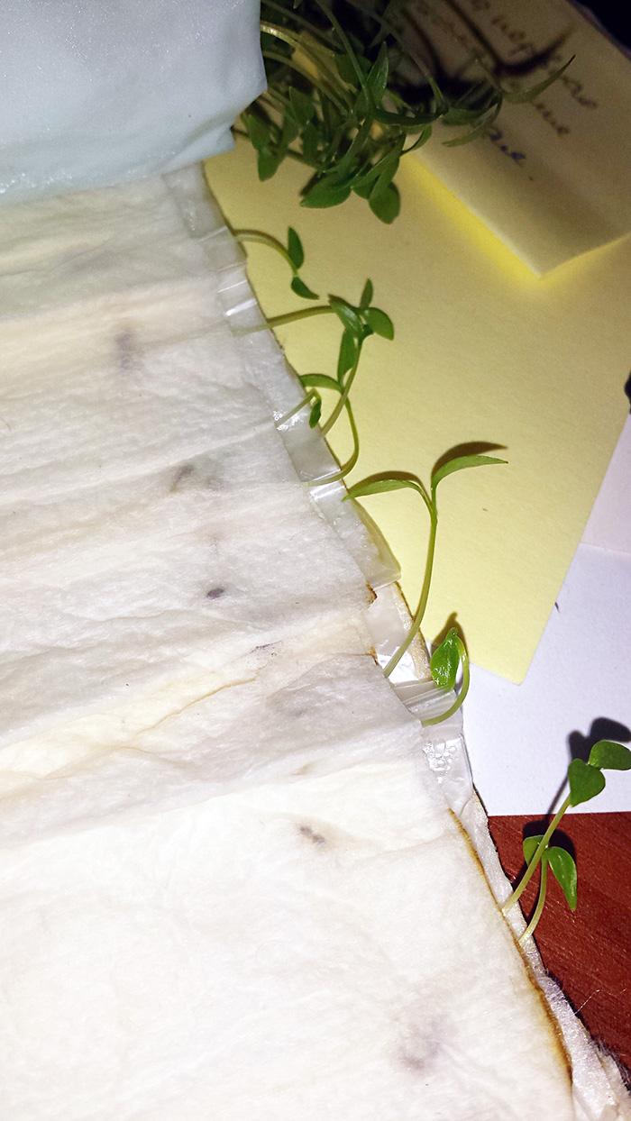 Посадка семян петрушки в пеленки