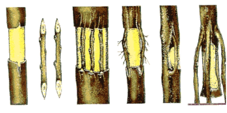 Как сберечь поврежденное дерево, прививка на ствол дерева