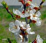 Апрельское чудо цветения