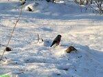 Снегирь обыкновенный / Pyrrhula pyrrhula