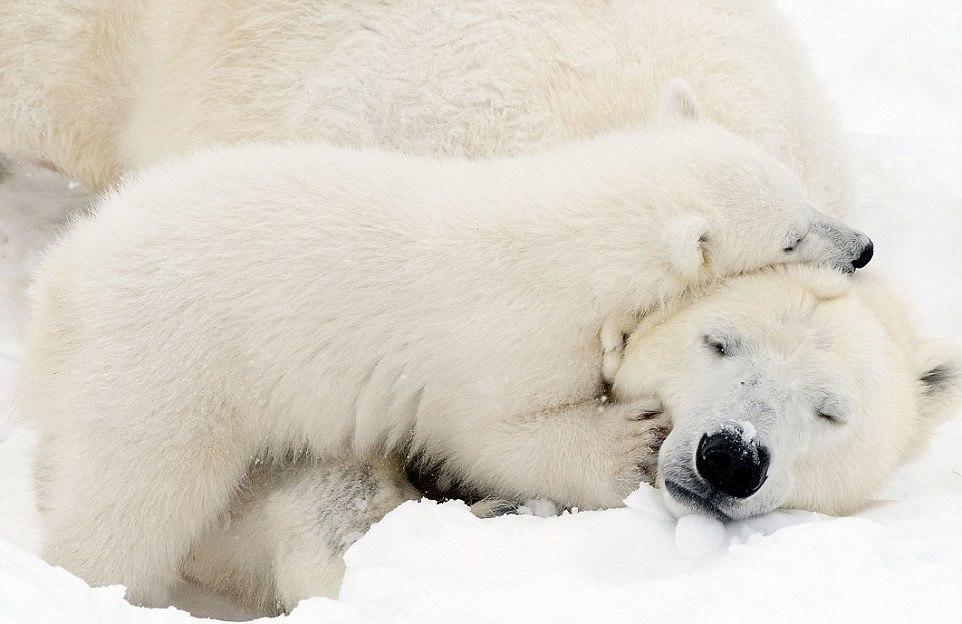 Умилительные кадры: белый медвежонок играет с мамой
