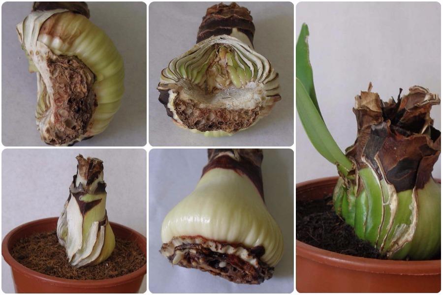 Гиппеаструм: размножение, болезни, отличие от амариллиса - Больная луковица гиппеаструма после обрезки, посадка