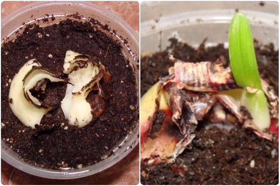 Гиппеаструм: размножение, болезни, отличие от амариллиса - размножение чешуйками