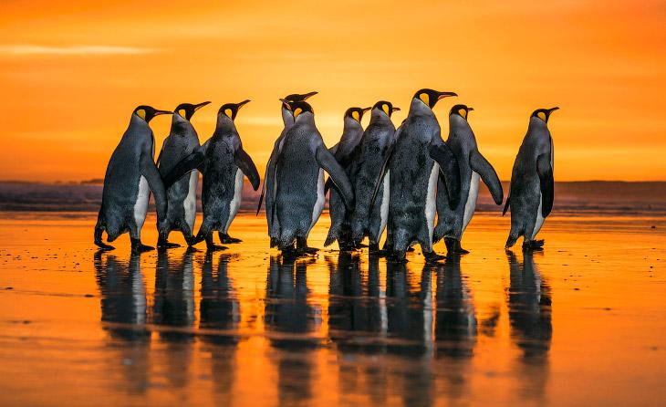 1. Королевский пингвин похож на императорского пингвина, но немного мельче его размерами и ярче окра