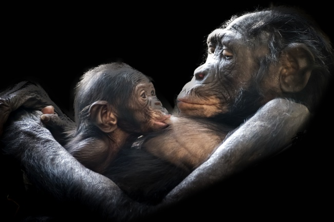 25фактов обобезьянах, которые доказывают, что Дарвин был прав (14 фото)