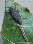 Златка бронзовая ребристая - Chrysobothris chrysostigma (Buprestidae)