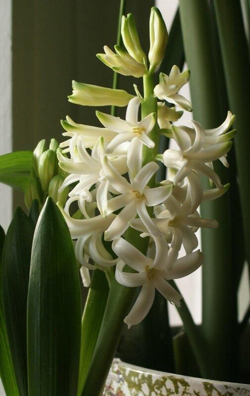 Белая ароматная краса