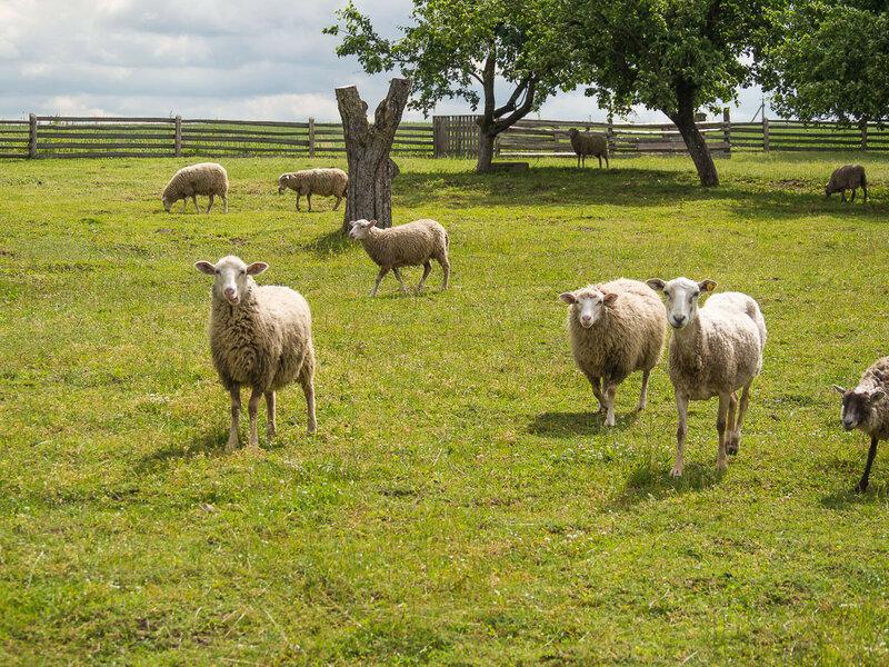На следующий день встретил овечек.
