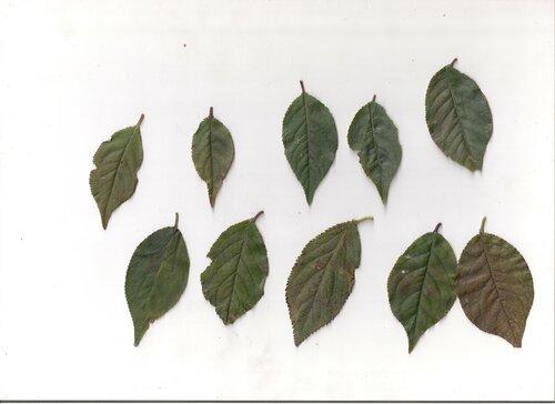 листья слив