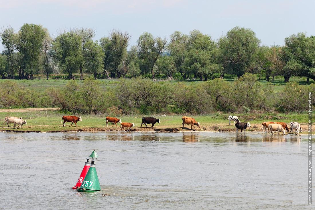 коровы в дельте Волги