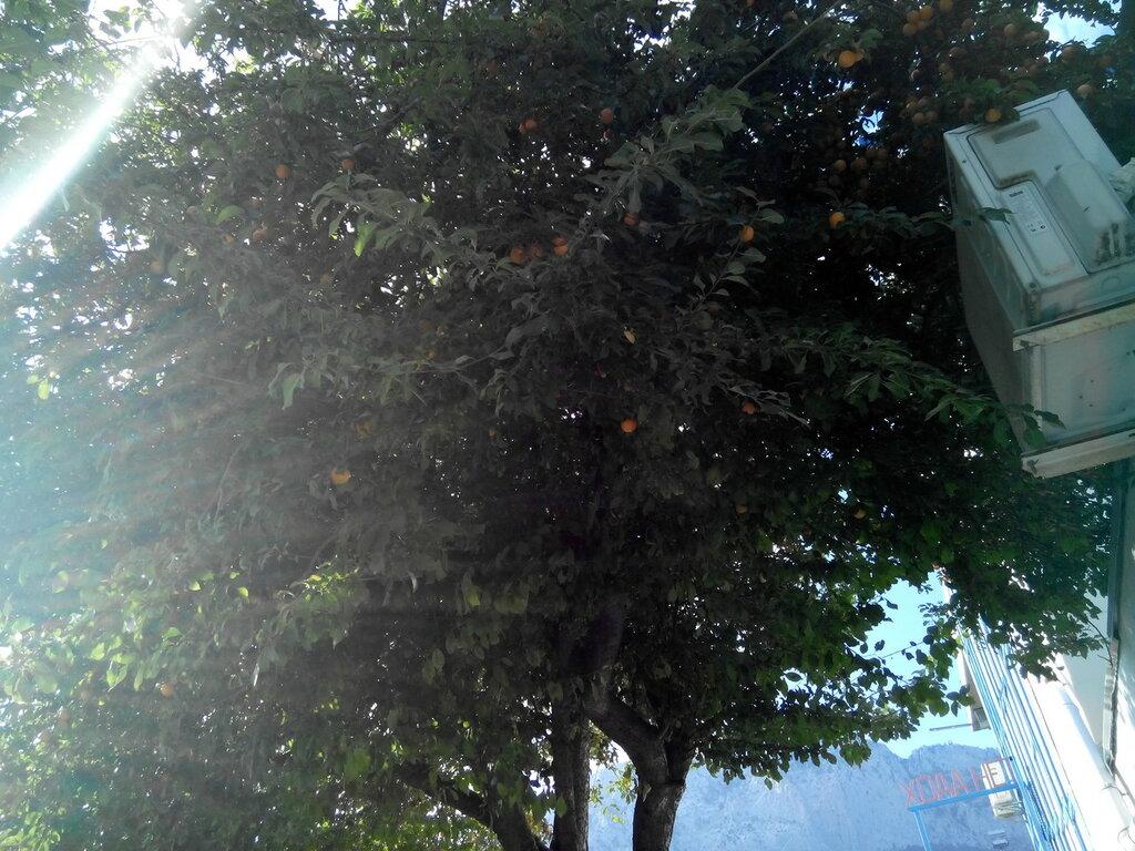 Абрикосы на нижней станции канатки.jpg