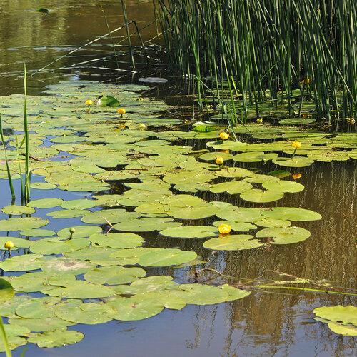 Кубышка жёлтая (Nuphar lutea) Автор фото: Владимир Брюхов