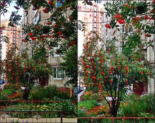 """collage """"Краснознамённая"""" рябина.jpg"""