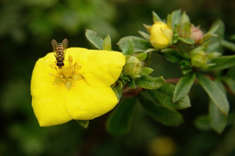 На цветке курильского чая