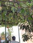 Виноградный тент над кафе