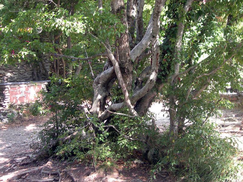 Фотография : Кавказ, дерево счастья №2.