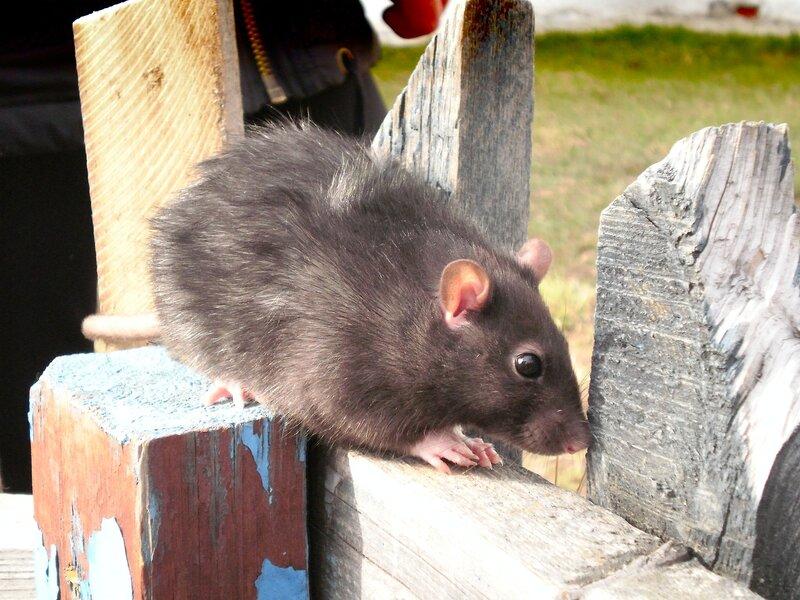Крыс на прогулке