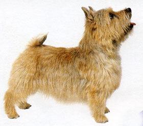 породы собак - Страница 4 0_4591_26483671_L